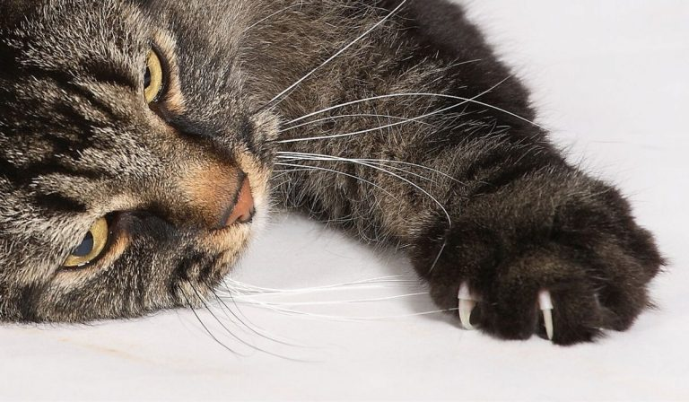 Pros and Cons of Declawing a Cat with Alternate Solution