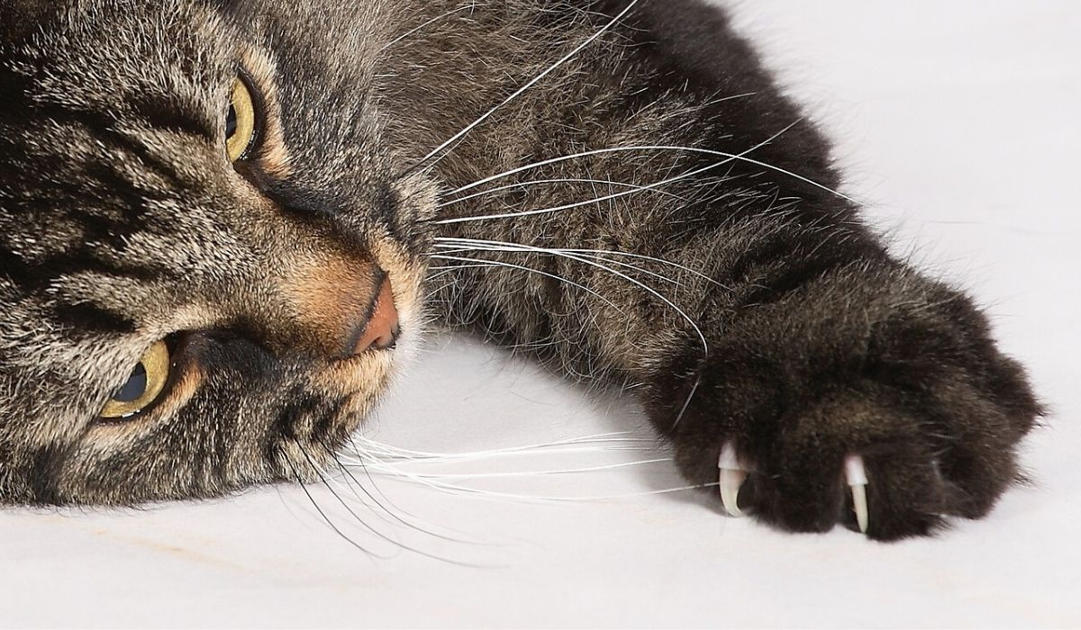 Pros and Cons of Declawing a Cat