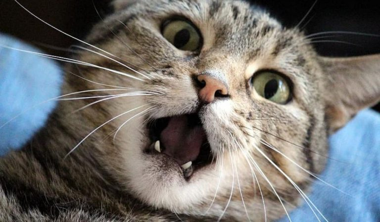 Oral Health for Cats | How often Should Cats get their Teeth Cleaned