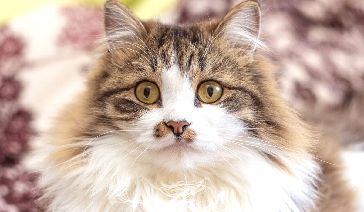 cat breeds with long hair
