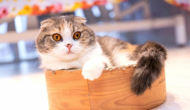 Scottish Fold Munchkin Cat | Characteristics, Health & Care