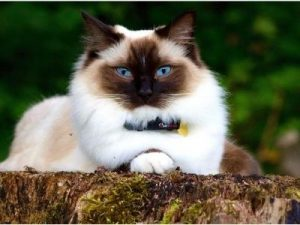 cat breed with long hair