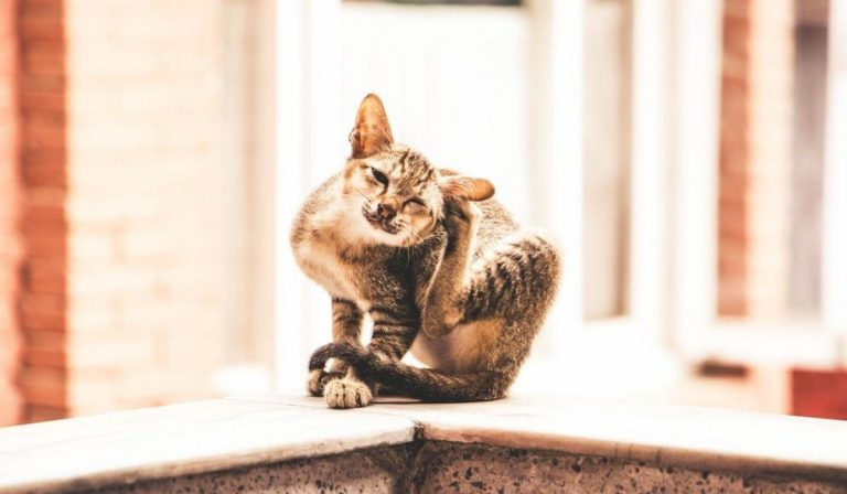 9 Possible Ways an Indoor Cat can Get Fleas | How to Detect Fleas in Cat and How to Prevent it