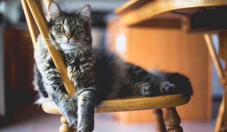 What is the Average Lifespan of an Indoor Cat | Detailed Guide